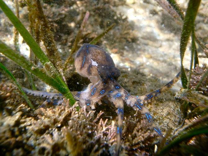 Blaugeringelte-Kraken