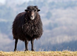 Ignoranz und Egoismus – The Black Sheep Effect