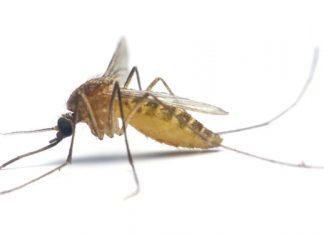 Mückenweibchen